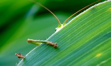 Free Green Insect Behind Green Leaf Royalty Free Stock Photography - 83076657