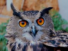 Free Brown White And Black Owl Royalty Free Stock Photo - 83076685