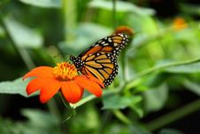 Free Yellow And Black Butterfy On Top Of Orange Daisy Flower Royalty Free Stock Photos - 83076708