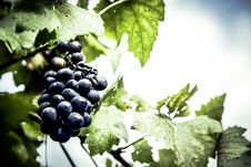 Free Purple Grapes Unattached To The Tree Stock Photo - 83076830