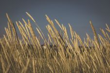 Free Wheat Meadow Royalty Free Stock Photo - 83076865