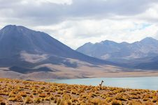 Free Young Desert Antelope On Lake Coast Stock Photos - 83076923