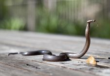 Free Brown Snake Stock Photography - 83076972