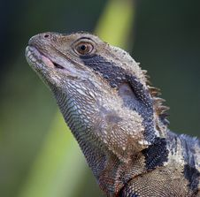 Free Black And Brown Spiky Lizard Royalty Free Stock Photo - 83076985