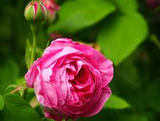 Free Fuchsia Rose In Bloom In Close Up Photography Stock Images - 83077094