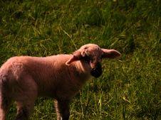 Free White Sheep On Green Grass Royalty Free Stock Photo - 83077095