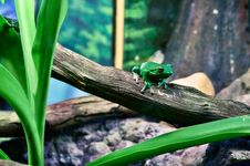 Free Green Tree Frog Perching On Tree During Daytime Royalty Free Stock Images - 83077109