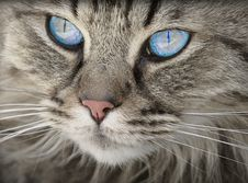 Free Blue Eyed Grey Tabby Cat Stock Images - 83077194