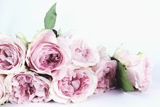 Free Pale Pink Roses Royalty Free Stock Images - 83077229