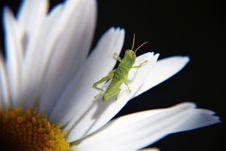 Free Green Grasshopper On Daisy Flower Stock Images - 83077244