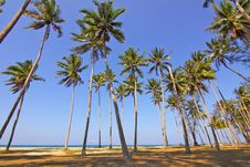 Free Tall Palms On Beach Royalty Free Stock Photo - 83077285
