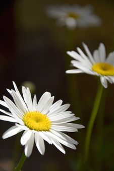 Free Daisies Royalty Free Stock Photography - 83077287