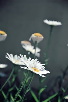 Free Daisy Like Flowers Stock Image - 83077291