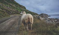 Free White Sheep Standing On Green Grass Near Sea Royalty Free Stock Photos - 83077428