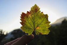 Free Autumn Maple Leaf Royalty Free Stock Photo - 83077465