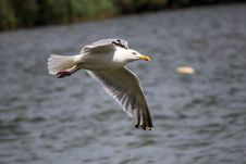 Free Seagull Flying Above The Sea During Day Time Stock Images - 83077514