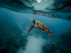 Free Underwater Photography Of Brown And Black Turtle Stock Photos - 83077563