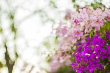 Free Purple And Pink Flowers In Selective Focus Photography Royalty Free Stock Photo - 83077615