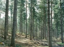 Free Pine Trees In Forest Stock Image - 83077621