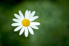 Free Single Blooming Daisy Flower Royalty Free Stock Image - 83077796