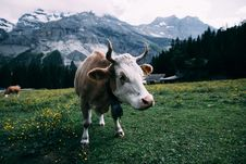 Free White And Brown Cow Near Mountain During Daytime Royalty Free Stock Photos - 83077968