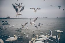 Free Seagulls And Swans Royalty Free Stock Images - 83078009