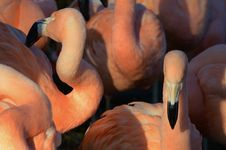 Free Group Of Pink Flamingo Birds Royalty Free Stock Image - 83078076