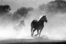 Free Brown And White Stallions Running In A Field Royalty Free Stock Photo - 83078135