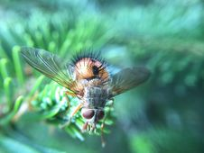 Free Fly On Pine Needles Royalty Free Stock Images - 83078199