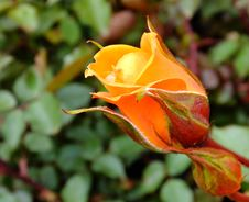 Free Orange Rose Royalty Free Stock Image - 83078216