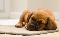 Free Cute Puppy Sleeping Royalty Free Stock Photography - 83078237
