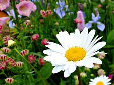 Free Daisy In The Garden Stock Photography - 83078242