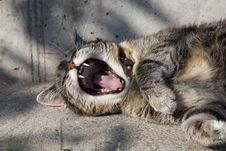 Free Silver Yawning Tabby Cat Stock Photos - 83078343