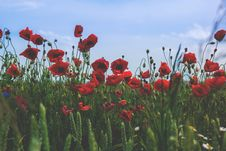 Free Red And Black Flower On Green Grass Under Blue Clear Sky During Daytime Stock Images - 83078454