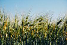 Free Field Of Barley Royalty Free Stock Photos - 83078548