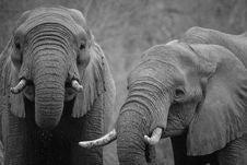 Free Two Elephants Stock Photo - 83078620