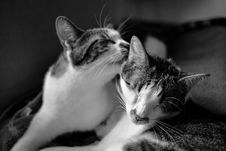 Free Cats In Gray Scale Photo Royalty Free Stock Images - 83078719