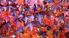 Free Maroon And Red Leaf In Close Up Photography Royalty Free Stock Image - 83078776