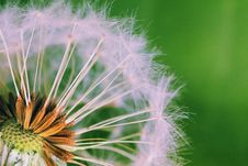 Free Closed Up Photograph Of Dandelion Seeds Stock Images - 83079054