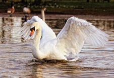 Free White Swan Stock Photography - 83079082
