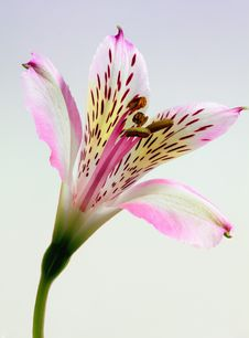 Free Shallow Focus Photography Of Pink And White Petal Flower Stock Photos - 83079113