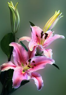 Free Pink Tiger Lily On Bloom Stock Images - 83079124