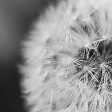 Free Close Up Photo Of Dandelion Stock Photography - 83079262