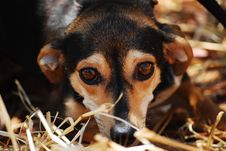 Free Black Brown Coated Dog On Dried Grass Royalty Free Stock Photo - 83079375