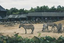 Free Zebras In The Zoo Stock Image - 83079391