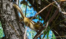 Free Brown And White Squirrel On Brown Tree Branch Royalty Free Stock Images - 83079459