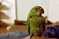 Free Green Parrot Royalty Free Stock Photos - 83079498