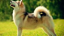 Free Husky Staring At The Sky Royalty Free Stock Photo - 83079715