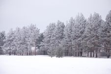 Free Trees, Winter Royalty Free Stock Images - 8310149