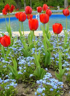 Free Red Tulips In A Park Royalty Free Stock Photography - 8310427
